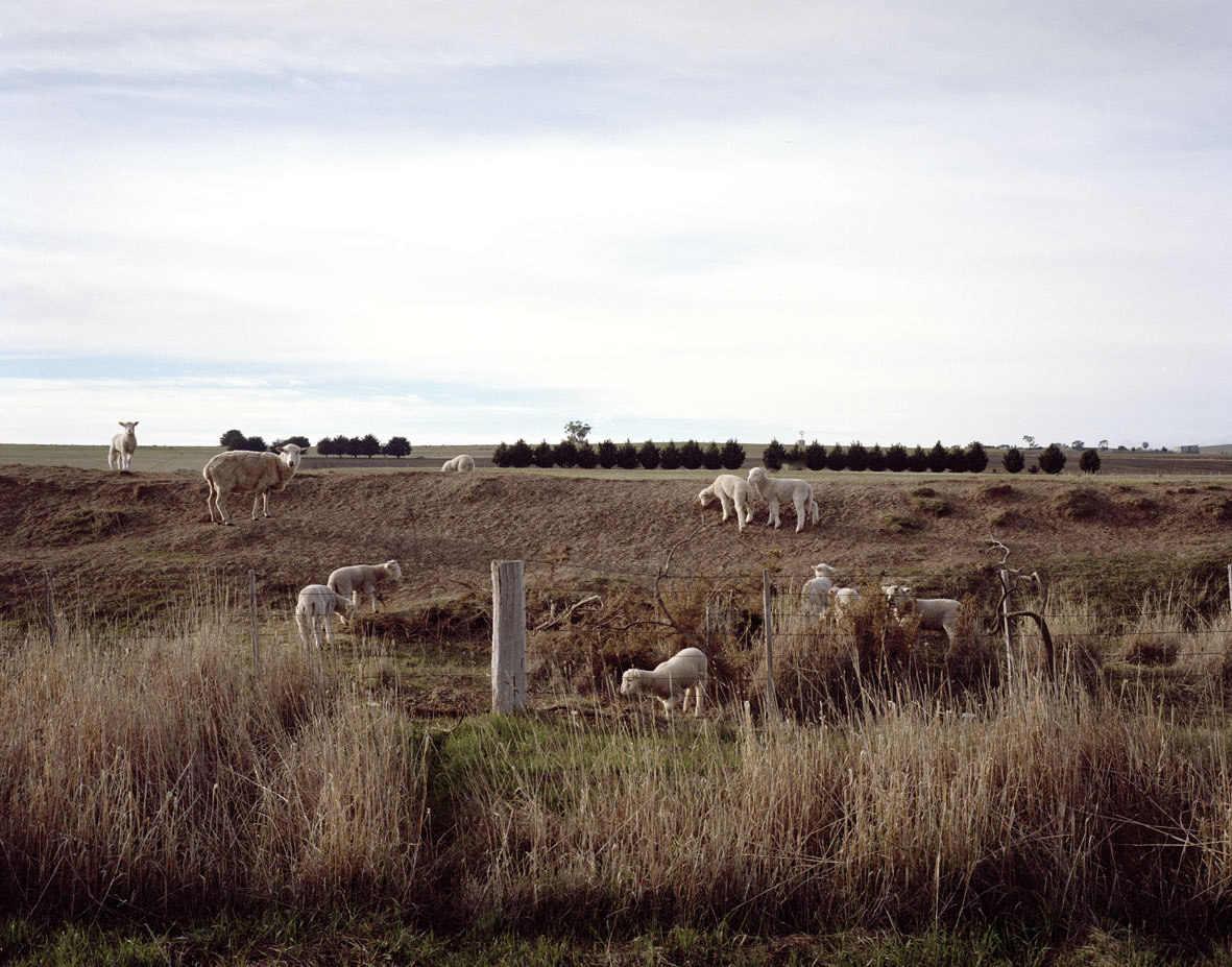 Clunes (Sheep on mullock heap), VIC, 2013